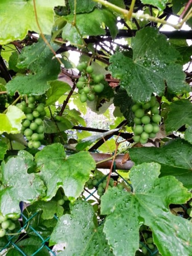 Nonno grows his own grapes. They will be ready for harvest in October.