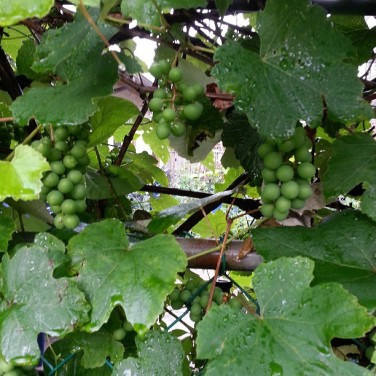 My grandfather grows grapes in his backyard. He used to made his own wine too! The latter is a late-fall activity.